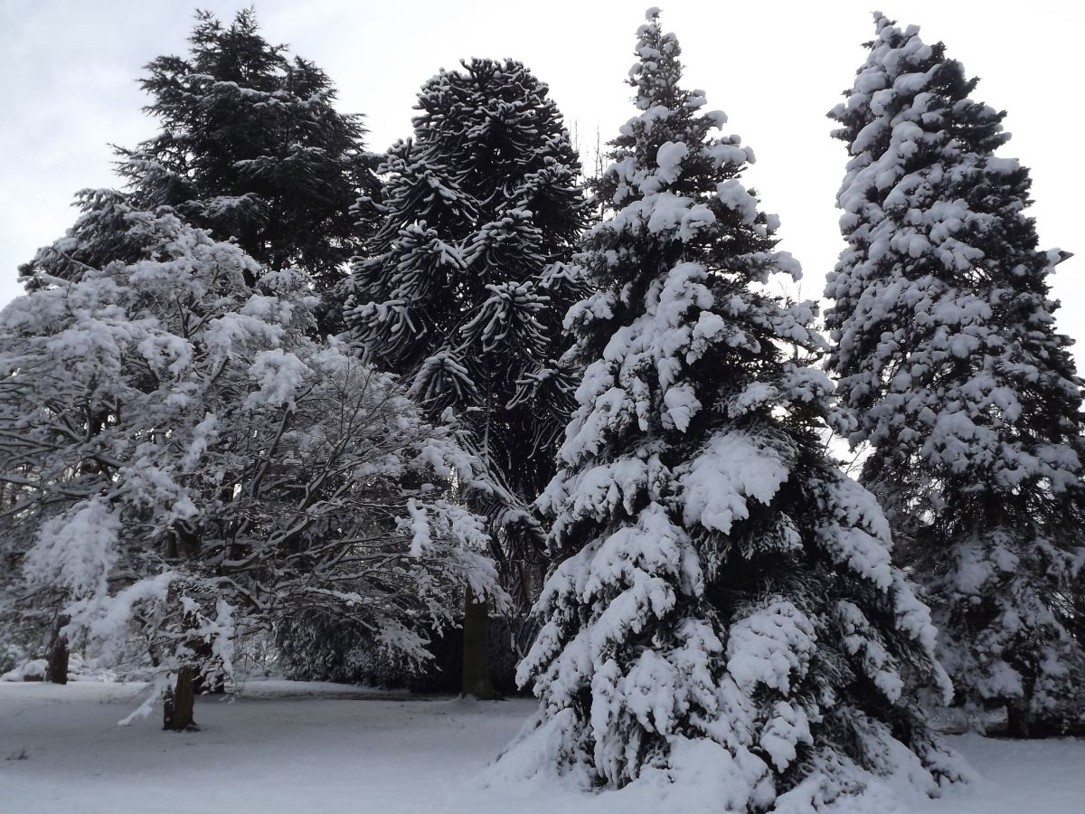 Monkey puzzle tree, Korean fir, and blue Colorado spruce on the Old Arboretum Lawn, Now and Then, Winterbourne House and Garden, Digging for Dirt