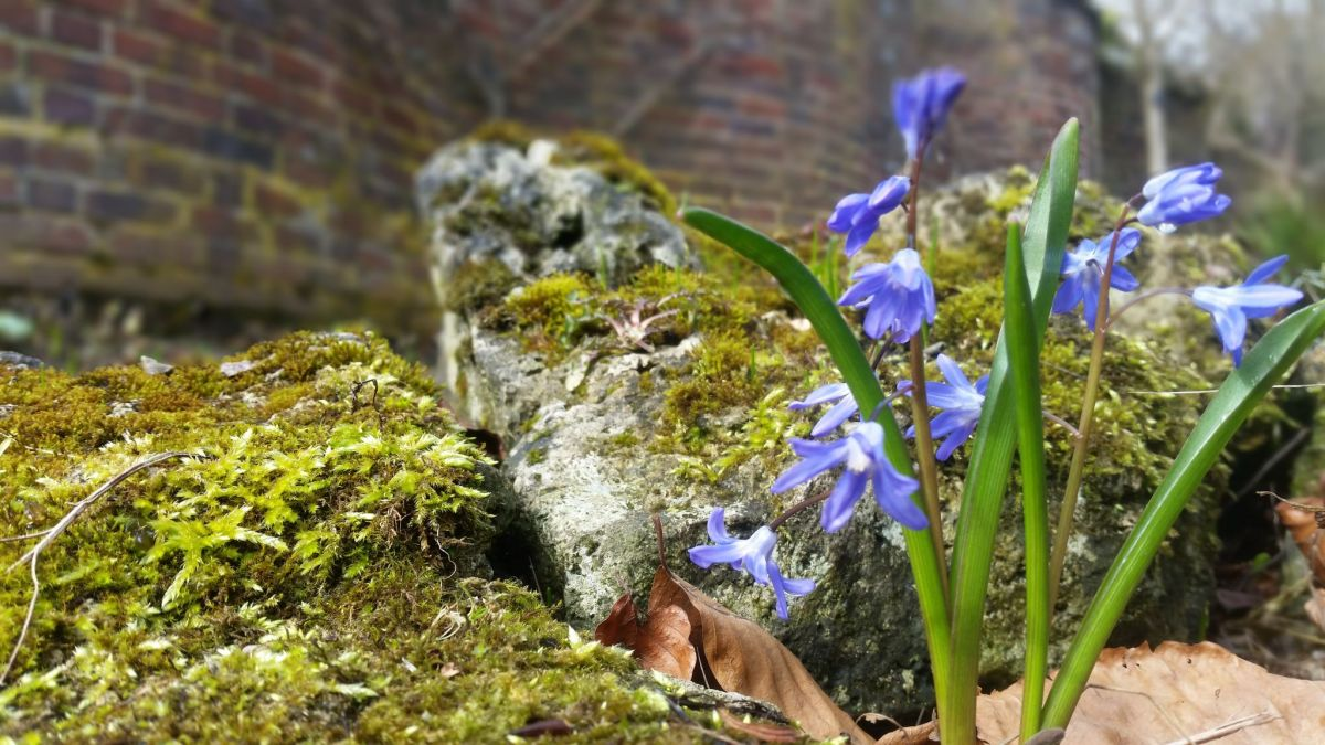 Scilla in the Scree Garden, photograph by Leighanne Gee, Now and Then March, Winterbourne House and Garden, Digging for Dirt