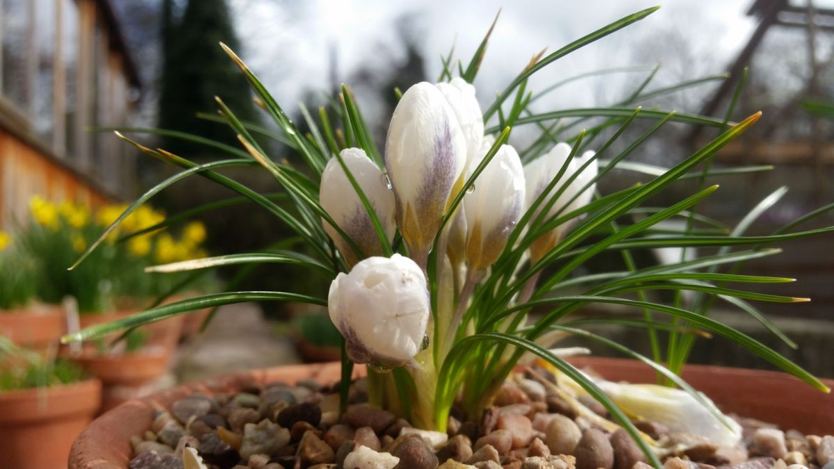 Crocus 'Ard Schenk' outside the Arid House, photograph by Leighanne Gee, Now and Then March, Winterbourne House and Garden, Digging for Dirt