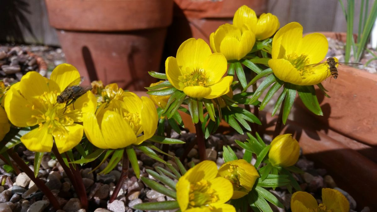 Eranthis hyemalis, photograph by Leighanne Gee, Now and Then March, Winterbourne House and Garden, Digging for Dirt