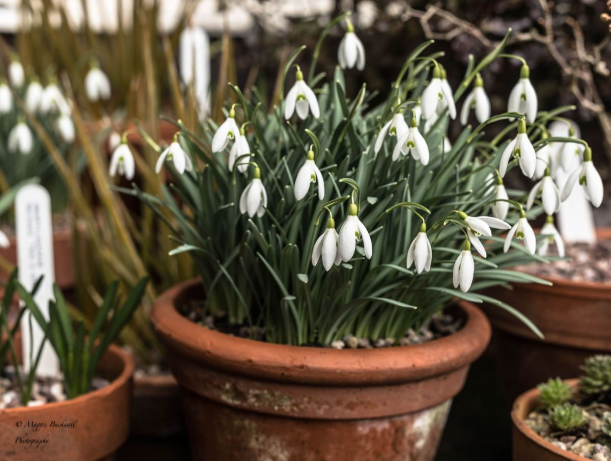 Galanthus nivalis on the Tea Room bunker, photograph by Maggie Bucknall, Now and Then March, Winterbourne House and Garden, Digging for Dirt
