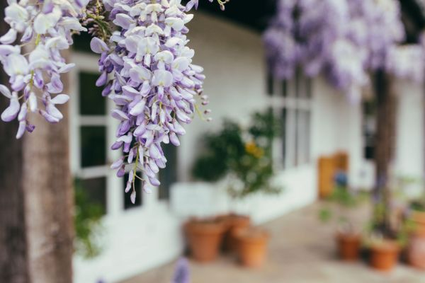 Wisteria on the terrace