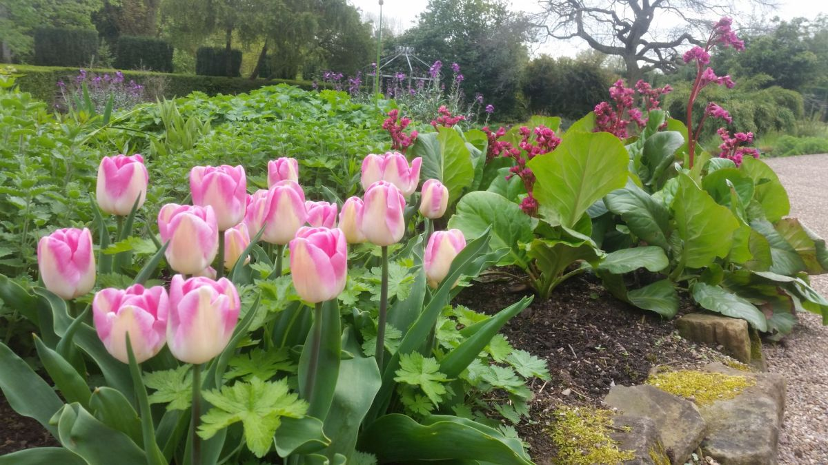 Tulipa 'Innuendo', Bergenia 'Ballawley', and Erysimum 'Bowles's Mauve' in the Pink and Blue Border, photograph by Leighanne Gee, Now and Then May, Winterbourne House and Garden, Digging for Dirt