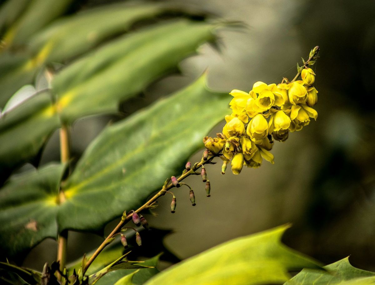 Mahonia, photograph by Maggie Bucknall, Winterbourne House and Garden, Digging for Dirt