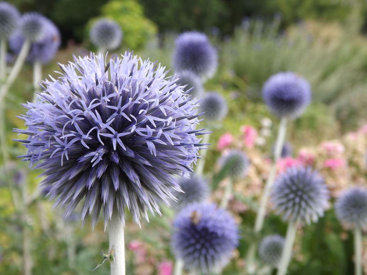 Echinops in the Pink and Blue Border, Now and Then July, Winterbourne House and Garden, Digging for Dirt