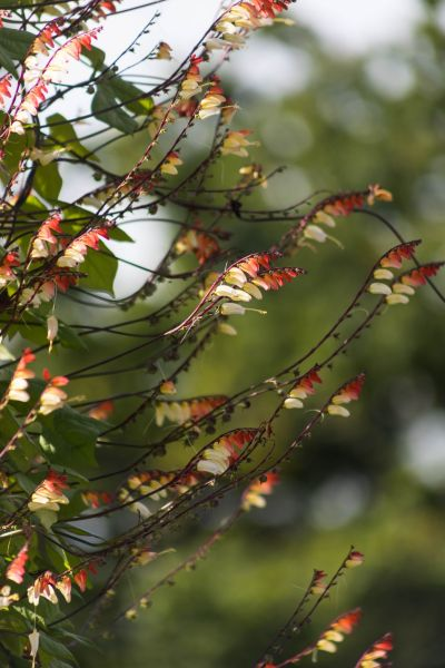 Ipomoea lobata in the Walled Garden, photograph by Maggie Bucknall, The Week That Was, Winterbourne House and Garden, Digging for Dirt