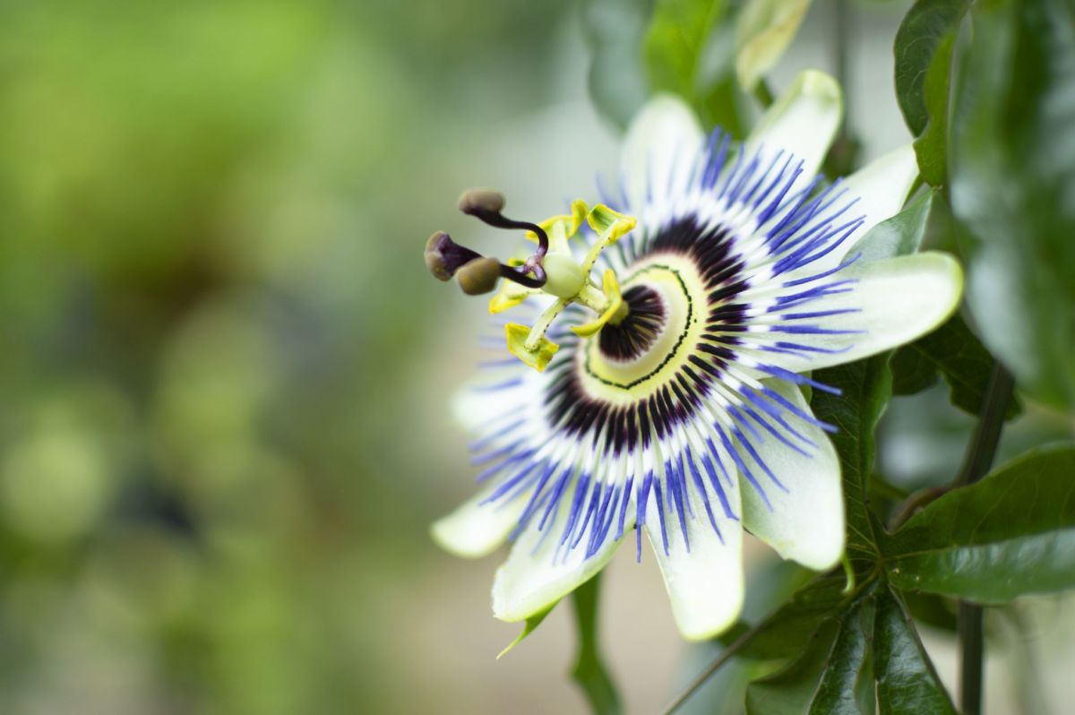 Passiflora caerulea, photograph by Victoria Beddoes, Snapshot So Victoria, Winterbourne House and Garden, Digging for Dirt
