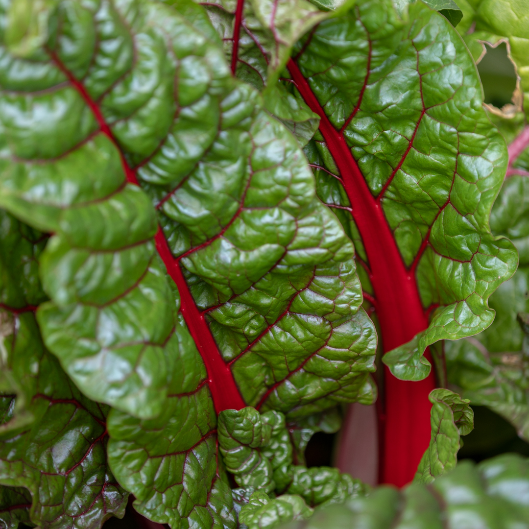 Chard in the Walled Garden, photograph by Duncan Walker, Snapshot, Winterbourne House and Garden, Digging for Dirt