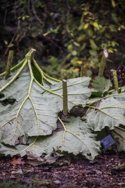 Giant rhubarb covered for winter in the Woodland Walk, photograph by Maggie Bucknall, The Week That Was, Winterbourne House and Garden, Digging for Dirt