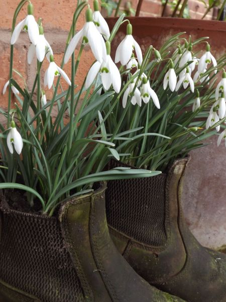 Snowdrops by the Tea Room Ramp, The Week That Was, Digging for Dirt, Winterbourne House and Garden