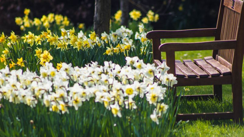 Daffodils on the Arboretum Lawn, photograph by Maggie Bucknall, The Week That Was, Digging for Dirt, Winterbourne House and Garden