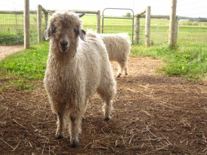 angora bucklings for sale