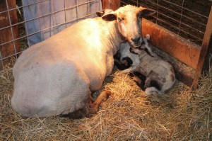 cloud with new lambs