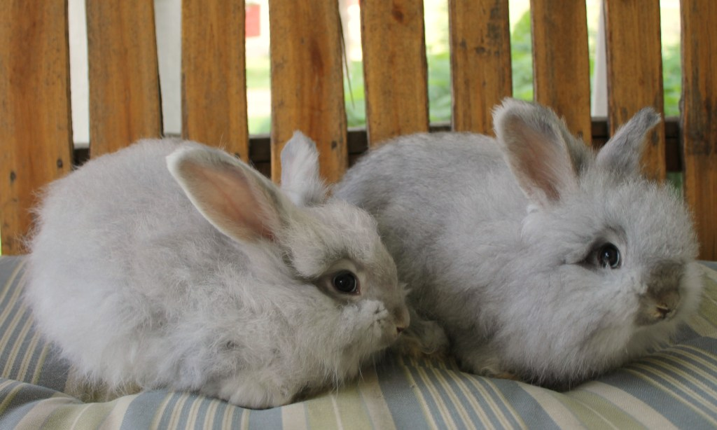 chinchilla angora bunnies