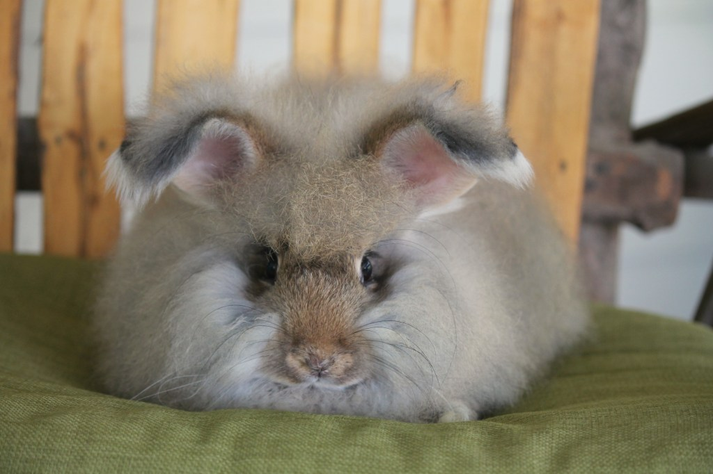 chestnut angora rabbit