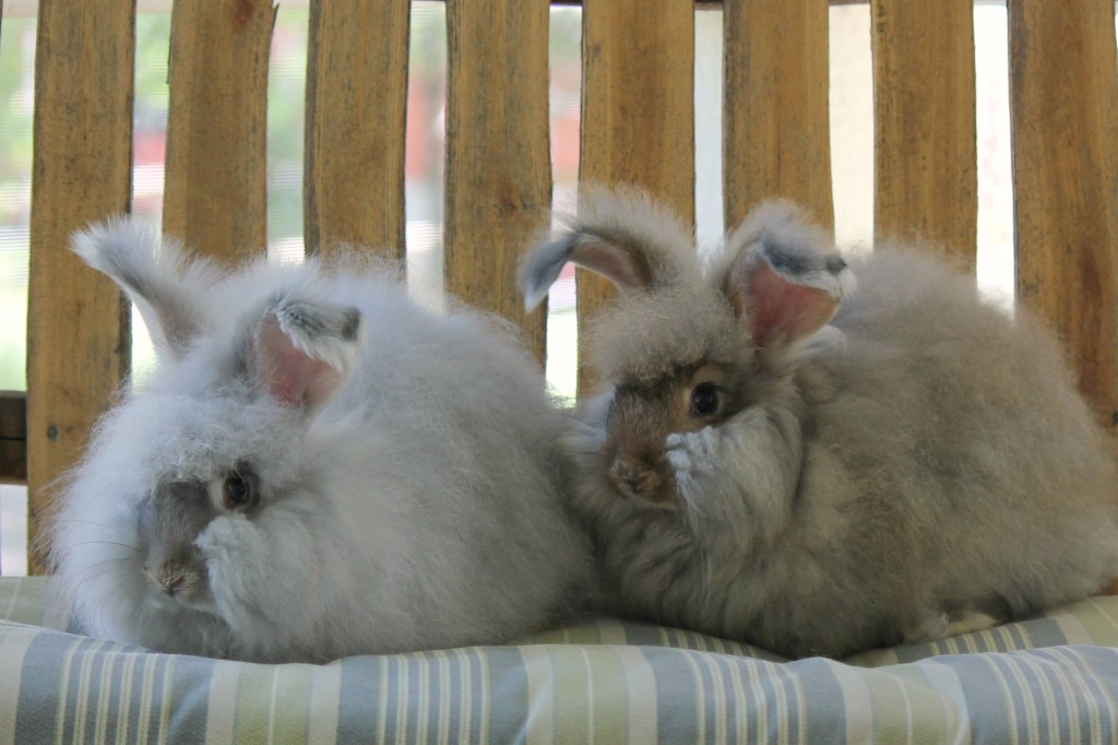 angora rabbits for sale