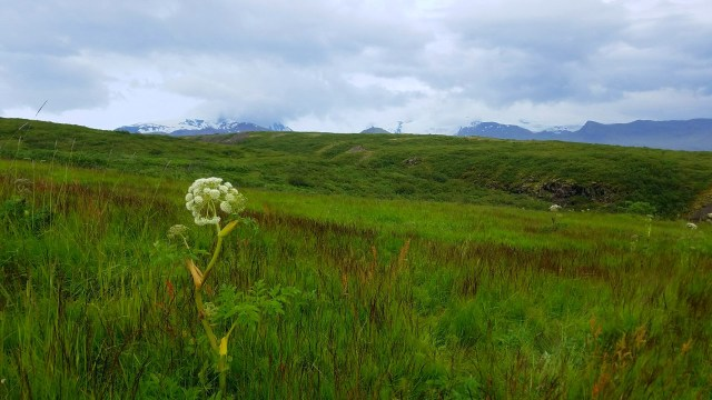 View of Vatnajökull from Skatafell. Wildflower in a grassy area with a mountainous glacier in the distance.