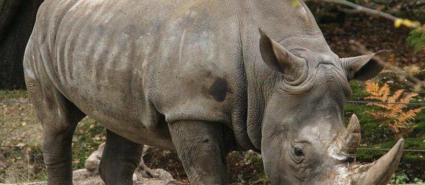 Rinoceronte bianco, ottenuti i primi embrioni per salvarlo