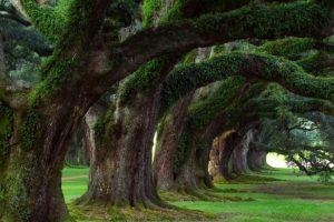 Alberi monumentali: il patrimonio italiano