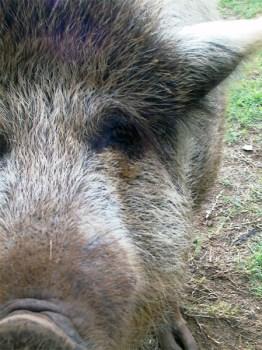 Polizeiauto kollidiert mit Wildschweinen. (Symbolbild: stock.xchng)