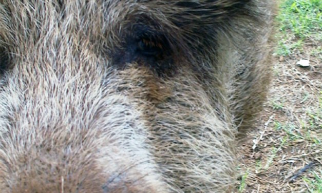 Polizeifahrzeug kolidiert mit Wildschweinen