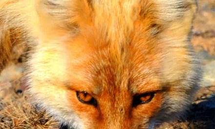 Verängstigter Fuchs beißt seine Retter