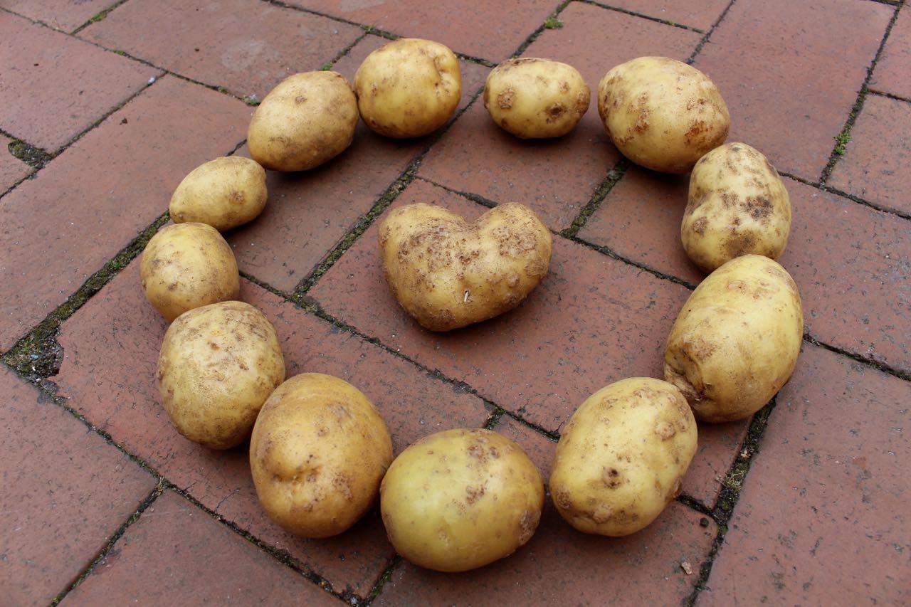 Kartoffel-Ernte(2)