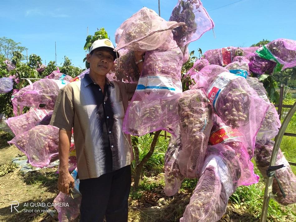 Sulap Lahan Pertanian Jadi Agrowisata Petik Buah Kelengkeng