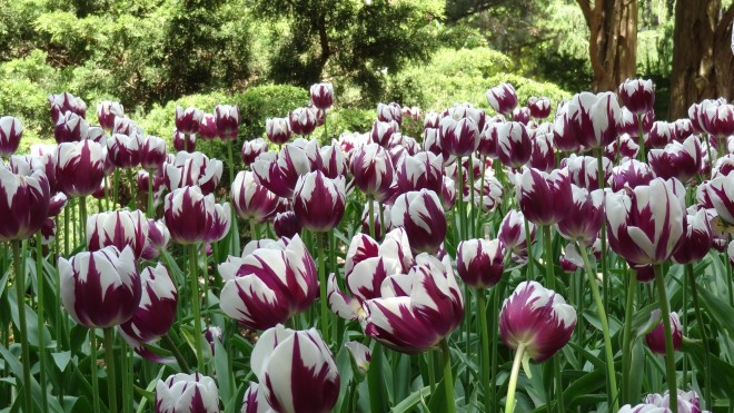 Tulips. Don't see these very often on GeekDad.