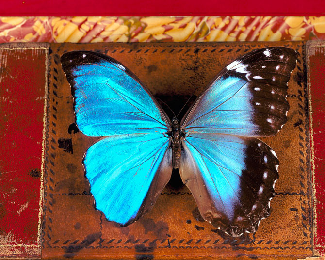 giant morpho butterfly