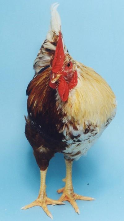 gynandromorphchicken