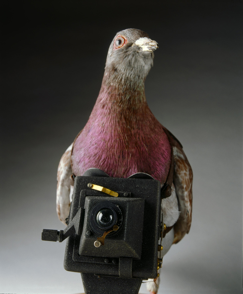 Pigeon Spy Cam