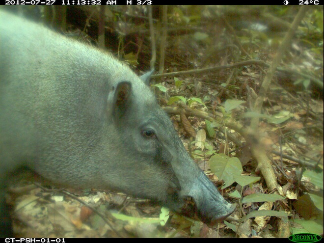 Wild Boar Pasoh Forest Reserve, Malaysia.
