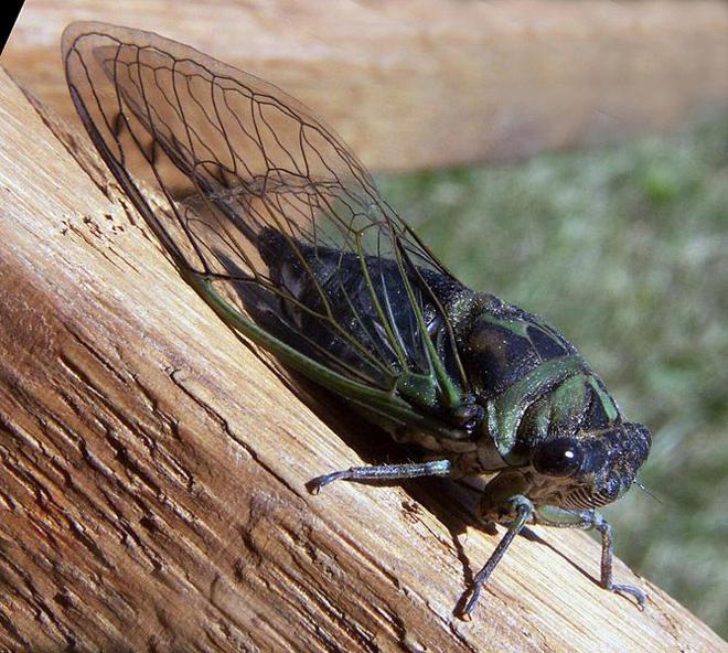 annual-cicada-bruce-marlin-wikimedia.jpg
