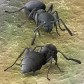 Tropical Black Ants