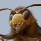 Hornet Head