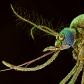 Mosquito Head