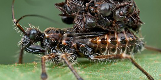 Image result for assassin bugs