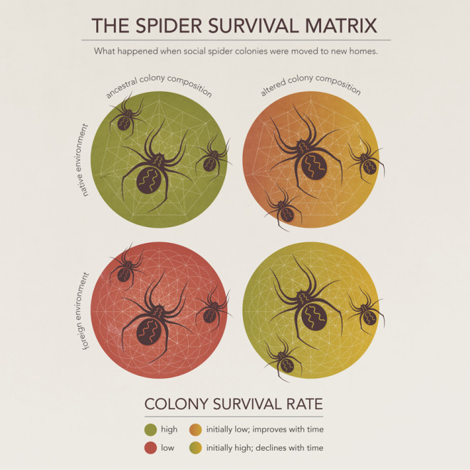 "Social-spider colonies are made up of ""warrior"" and ""nanny"" spiders. Different colonies have different ratios of warriors to nannies, depending on the environment. Researchers engineered new colonies, some of which retained their ancestral ratio, and some of which were altered so that spiders from warrior-heavy colonies were used to create nanny-heavy colonies, and vice versa. The new colonies were then placed in native and foreign environments. After a couple of generations, the altered colonies began to revert to their ancestral compositions, suggesting that natural selection shaped the composition of the group to be best suited to its native environment."