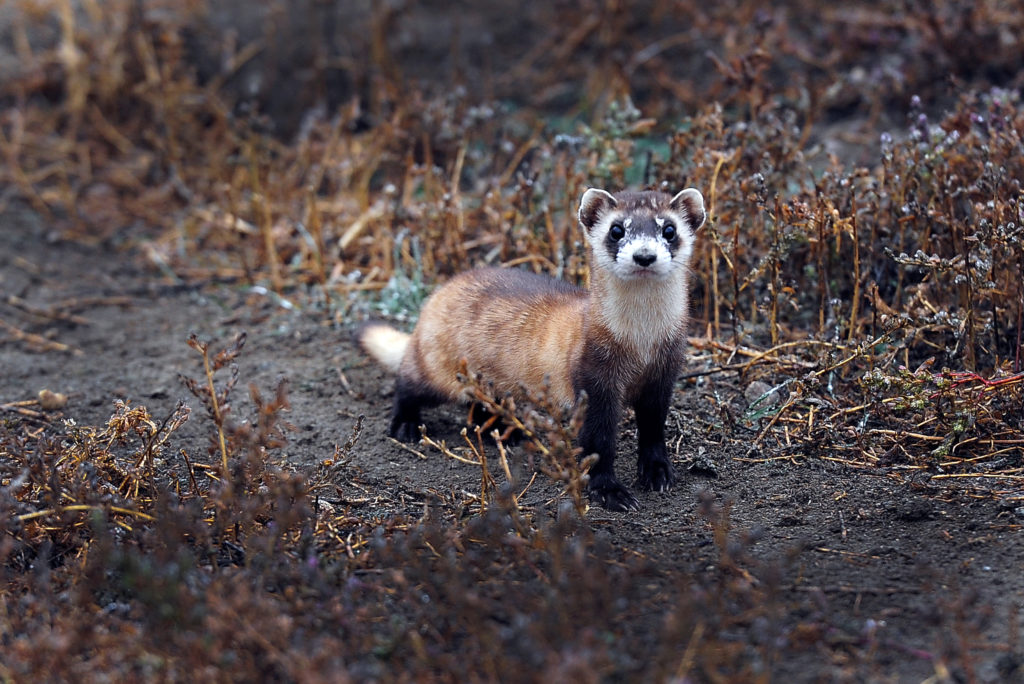 M&M-shooting drones may save the Black-Footed Ferret – Eideard