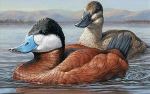 The 2015-'16 Federal Duck Stamp will feature these ruddy ducks painted by Jennifer Miller of Olean, New York. The 2015-'16 stamp will cost $25. The stamp cost had been $15 since 1991. Miller won the design contest in September over 185 other entries.