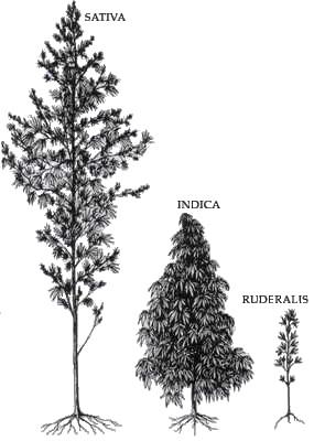 nice illustration of the three types of cannabis plants