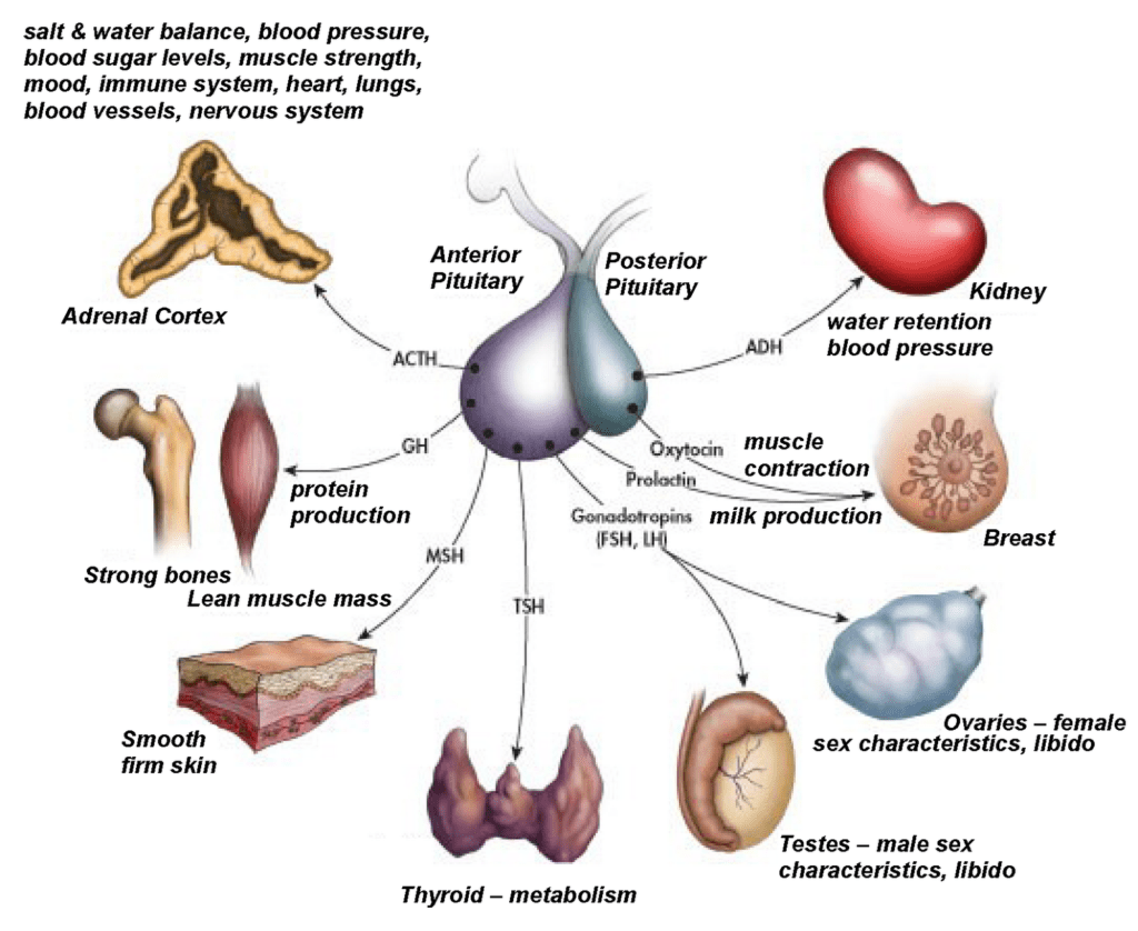 Anatomy The Human Endocrine System Wise Mindbody Healing