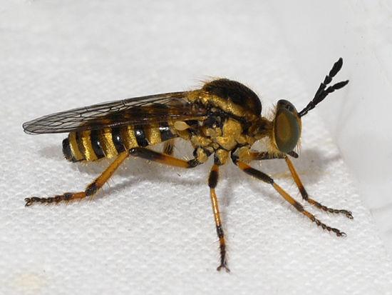 Ceraturgus aurulentus, a rare robber fly; Ilona Loser; 1st Place