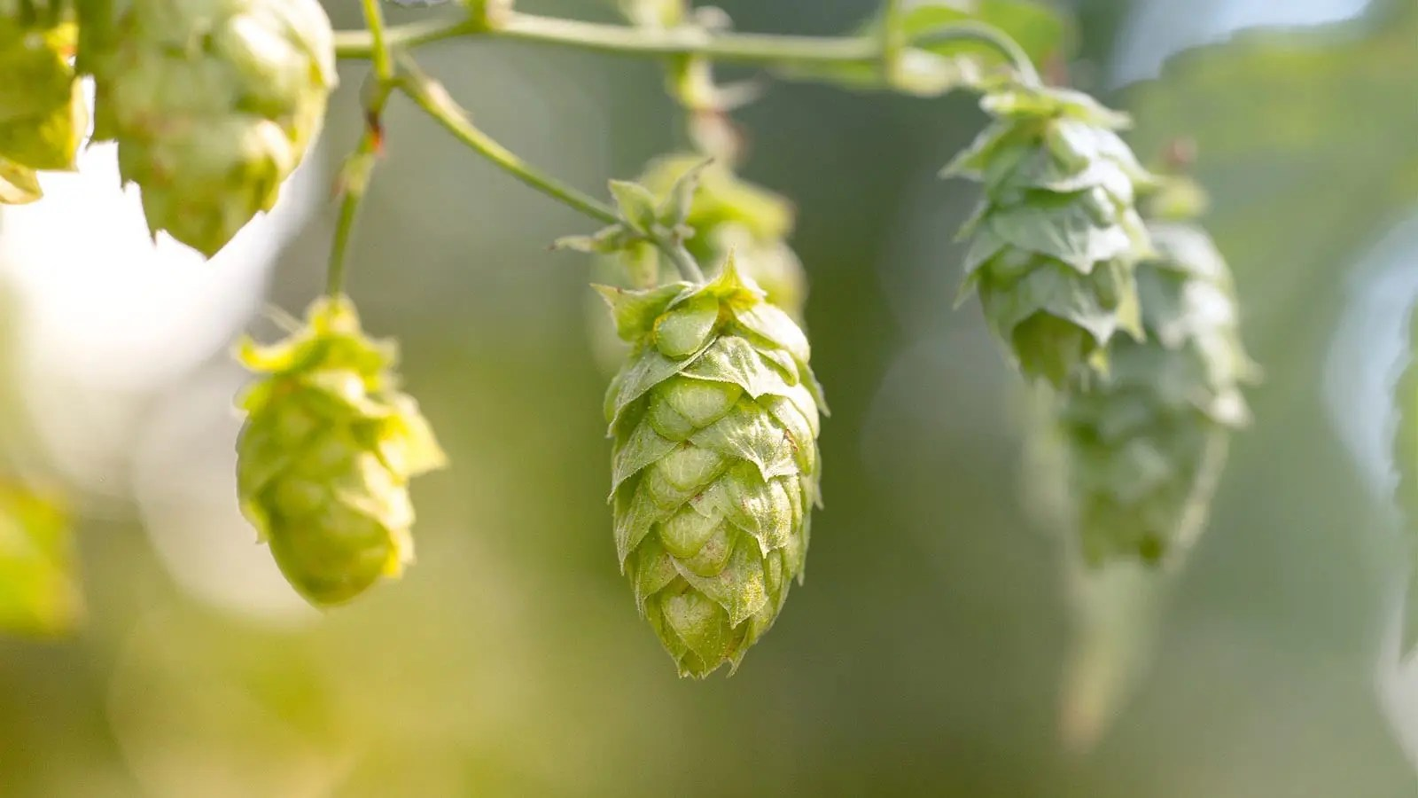 For the Love of Hops!!