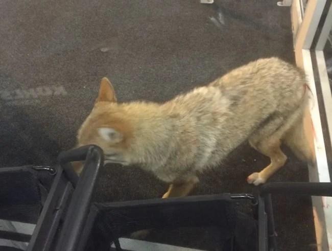 Coyote in vestibule1_359932
