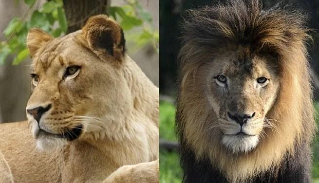 lions together_1539978720464.jpg.jpg