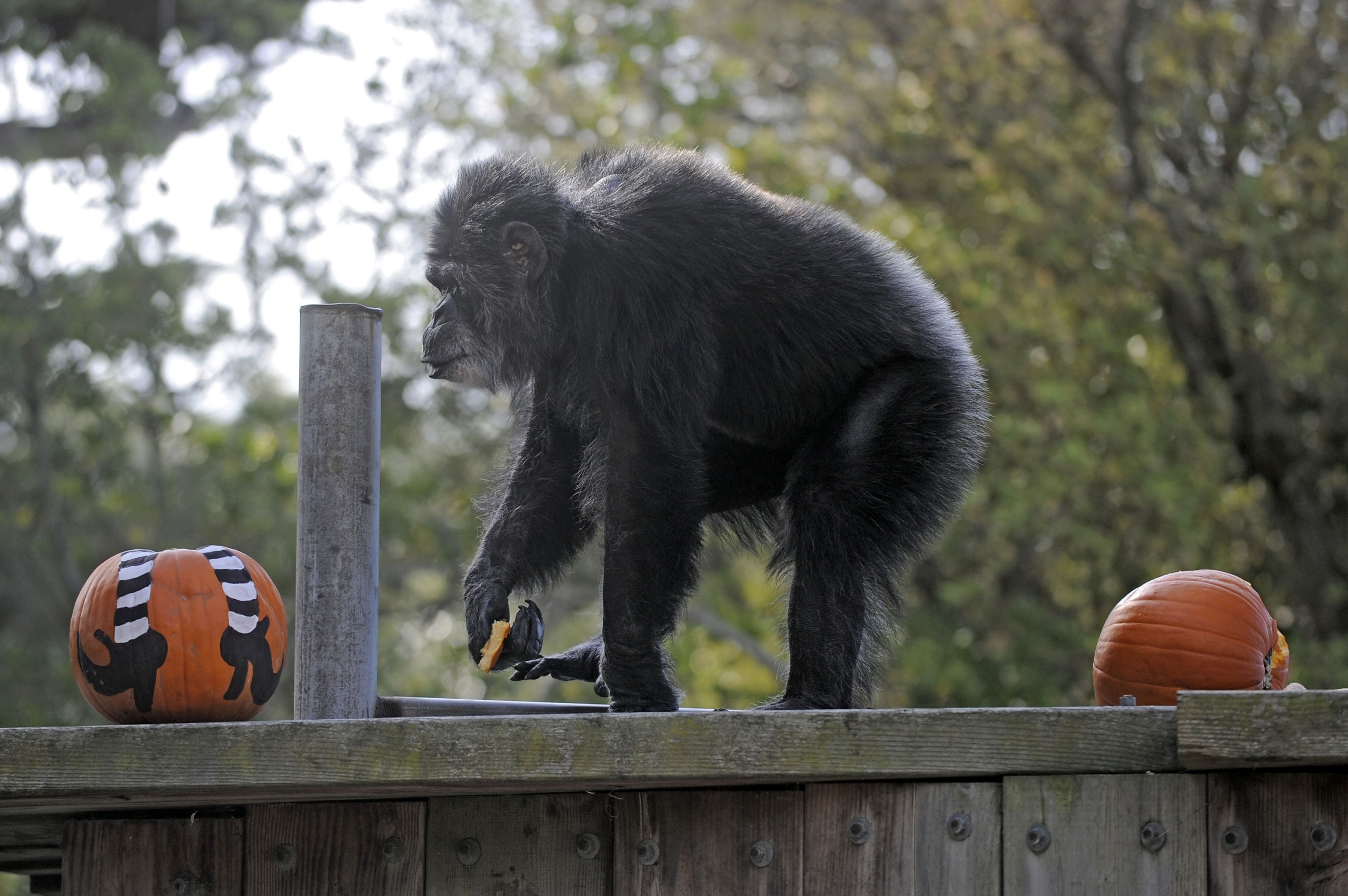 Oldest male chimpanzee in US dies at San Francisco zoo - WISH-TV