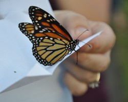 Monarch butterfly for butterfly releasee