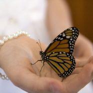 Monarch Butterflies for Butterfly Releases